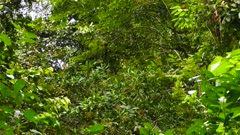 Group of White-Faced Capuchin Monkey (Cebus Capucinus) hiding in jungle