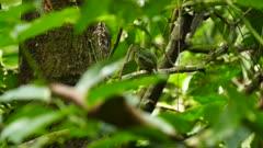 Female Blue-Crowned Manakin perched in dense green jungle