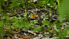 Prothonotary Warbler (Protonotaria Citrea) hoping on low level branches