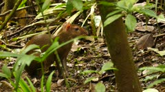 Central America Agouti (Dasyprocta Punctata) munching and walking in jungle