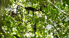 Monkeys hanging of of large tree branch scratching lazy