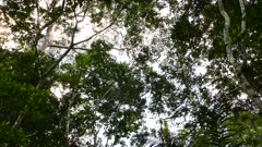 Wide shot of huge trees with monkey traveling atop high branches
