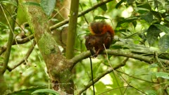 Maroon colored squirrel eating nut on a branch in the rainforest