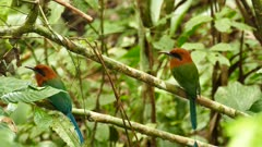 Pair of Broad-Billed Motmot turning around at the same time
