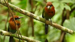 Flamboyant Motmot (Electron Clatyrhynchum) in pair in tropical setting