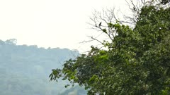 Pair of Keel-Billed Toucan perched with mountain in background
