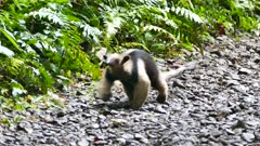 Northern Tamandua (Tamandua Mexicana) walking slowly towards the camera