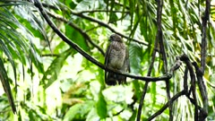 Broad-Winged Hawk (Buteo Platypterus) perched on a liana in the jungle