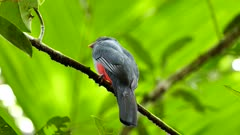 Slaty Tailed Trogon (Trogon Massena) perched on branch with bright green background