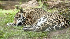 Jaguar (Panthera Onca) lying down and sleeping in grass with breathing movements