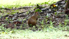 Central American Agouti (Dasyprocta Punctata) sitting on the ground and feeding on fruit