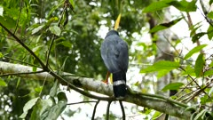 Semiplumbeous Hawk (Leucopternis Semiplumbeus) perched on branch and flying away