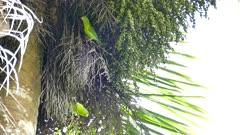Pair of Orange-Chinned Parakeet (Brotogeris Jugularis) walking on palmtree branches