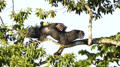 Black Vulture (Coragyps Atratus) extending and drying up their wings in the wind