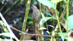 Northern Barred Woodcreeper (Dendrocolaptes Sanctithomae) perched on ant infested tree