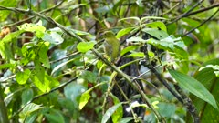 Female Golden-Collared Manakin (Manacus Vitellinus) perched and taking wing