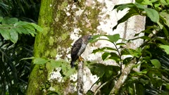 Broad-Winged Hawk (Buteo Platypterus) stretching with large tree in background