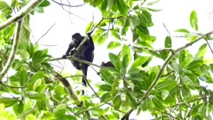 Unsecure baby Howler monkey (Alouatta) holding on mother in tree with green leaves