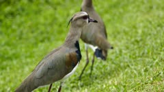 Southern Lapwing (Vanellus Chilensis) nodding while walking slowly on grass
