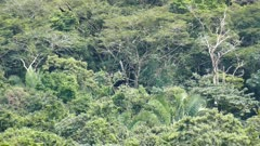 Black Vultures (Coragyps Atratus) flying in circular motion with heavy jungle in background
