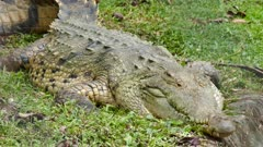 Large Crocodile laying down in grass with its eyes open
