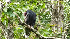 Turkey Vulture (Cathartes Aura) grooming while standing on a branch