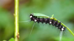 Black hairy caterpillar with white spots feeding on a green leaf