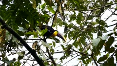 Chestnut-Mandibled Toucan (Ramphastos Ambiguus Swainsonii) hopping in a tree