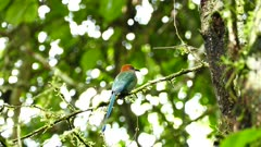 Broad-Billed Motmot (Electron Platyrhynchum) perched on a branch in the jungle