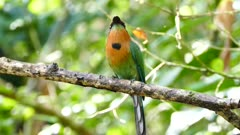 Broad-Billed Motmot (Electron Platyrhynchum) keeping its head still while body is moving