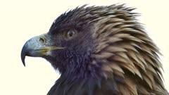 Golden Eagle (Aquila chrysaetos) turning its head around