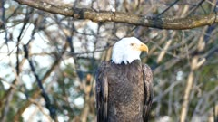 Bald Eagle (Haliaeetus leucocephalus) screeching loudly