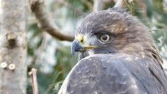 Merlin (Falco columbarius) closeup of head turning around