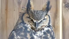 Great Horned Owl (Bubo virginianus) closing and opening eyes