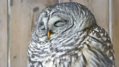 Barred Owl (Strix varia) slightly opening its eyes