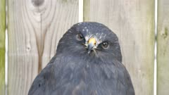 Zone-Tailed Hawk (Buteo albonotatus) looking curiously into camera