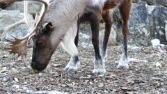 Woodland Caribou (Rangifer tarandus caribou) munching while standing