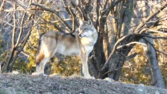 Gray Wolf (Canis lupus) turning half a turn on itself