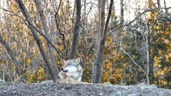 Gray Wolf (Canis lupus) howling and stretching in the cold