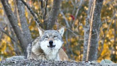 Gray Wolf (Canis lupus) closeup of head while howling