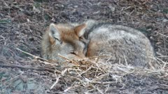 Coyote (Canis latrans) waking up while laying on the ground