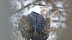 Bald Eagle (Haliaeetus leucocephalus) stretching and turning