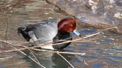 Redhead Duck (Aythya americana) grooming its feathers