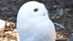 Snowy Owl (Bubo scandiacus) breathing with vapor showing