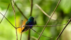 Dark blue feathers shine on chest of hummingbird in the jungle