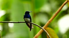 White-Necked Jacobin on dense rainforest background with bamboo stick