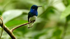 White-Necked Jacobin specie of hummingbird pulling tonge out