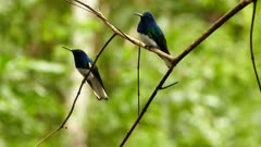 Duo of White-Necked Jacobin perched on branch with blury background