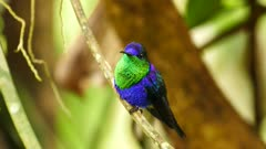 Pristine and sharp shot of Violet-Bellied Hummingbird in the wild
