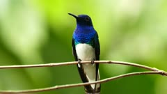 Front closeup view of Panama local White-Necked Jacobin
